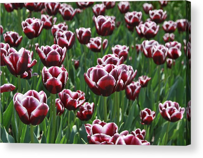 Purple Acrylic Print featuring the photograph Purple Tulips by Emily Northey