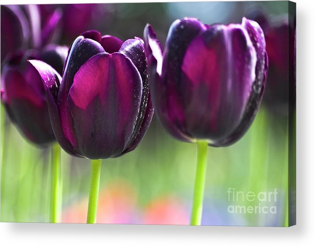 Tulip Acrylic Print featuring the photograph Purple Tulips by Heiko Koehrer-Wagner