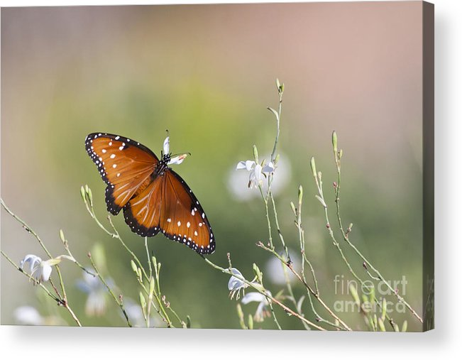Butterfly Acrylic Print featuring the photograph Queen In Morning Light by Ruth Jolly