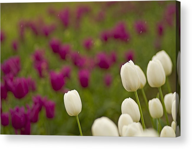Pacific Acrylic Print featuring the photograph Rain Drops Keep Falling On My Tulips by Nick Boren