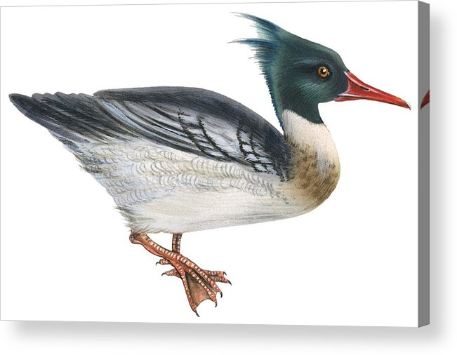 No People; Horizontal; Full Length; White Background; Standing; One Animal; Animal Themes; Illustration And Painting; Red-breasted Merganser; Aquatic; Mergus Serrator; Bird Acrylic Print featuring the drawing Red-breasted Merganser by Anonymous
