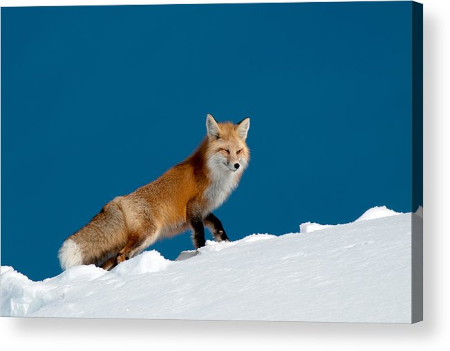 Red Fox Acrylic Print featuring the photograph Red Fox by Gary Beeler