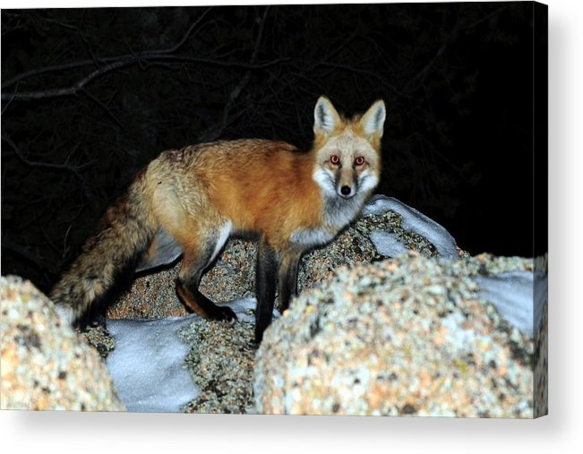 Colorado Acrylic Print featuring the photograph Red Fox - Piercing Eyes by Marilyn Burton