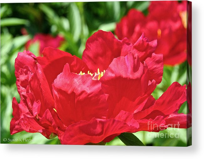 Flower Acrylic Print featuring the photograph Red Rufflez by Susan Herber