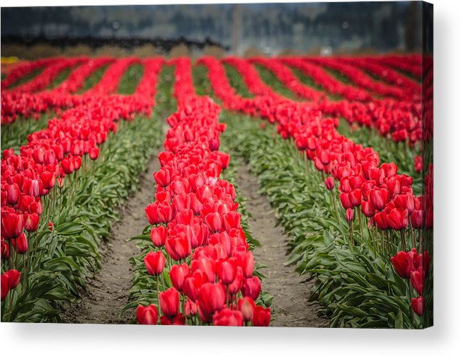 Red Acrylic Print featuring the photograph Red Tulip Hills by Puget Exposure