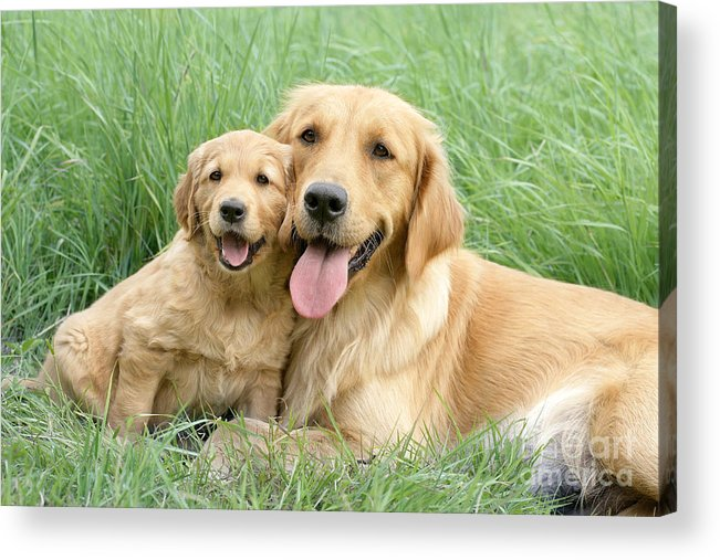 Dogs Acrylic Print featuring the digital art Relaxing Retrievers by Greg Cuddiford