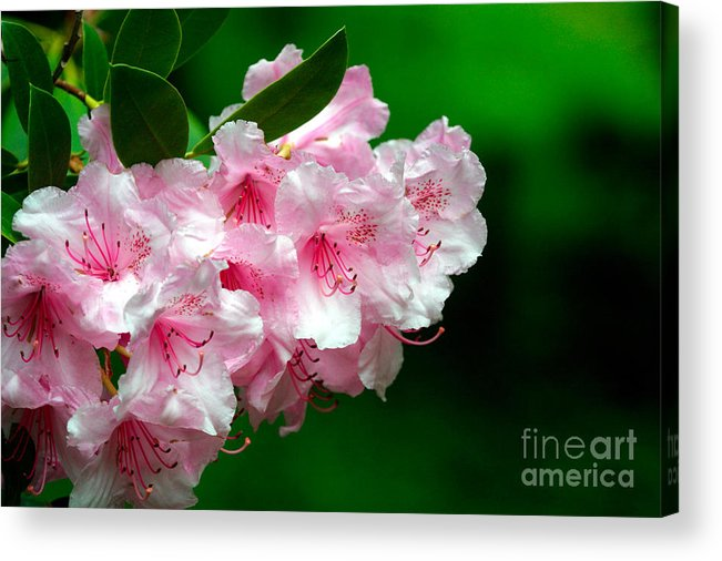 Rhododendron Acrylic Print featuring the photograph Rhododendron by Lynne Sutherland