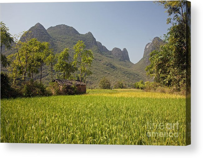 Agriculture Acrylic Print featuring the photograph Rice Farm by David Davis