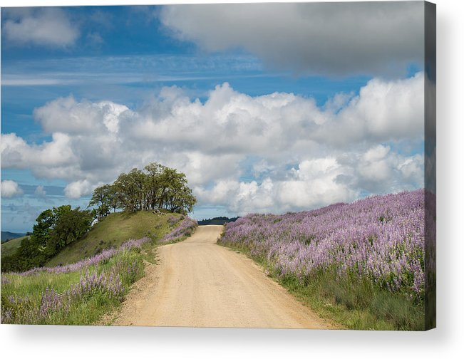Lupine Acrylic Print featuring the photograph Road Through Lupine by Greg Nyquist