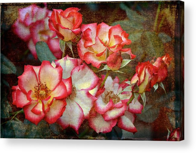 Floral Acrylic Print featuring the photograph Rose 305 by Pamela Cooper