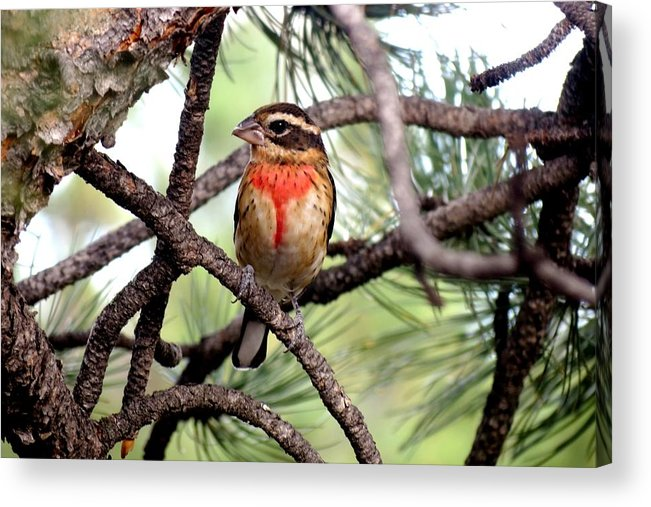 Colorado Acrylic Print featuring the photograph Rose-breasted Grosbeak On Pine Tree by Marilyn Burton