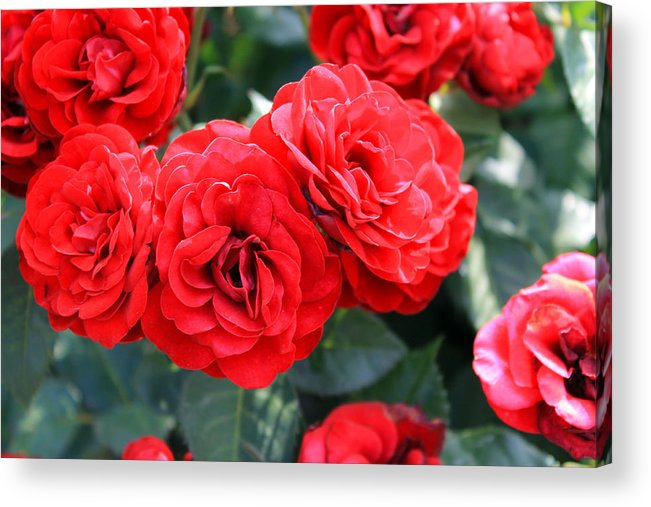 Roses Acrylic Print featuring the photograph Roses Are Red by Elijah Gomez