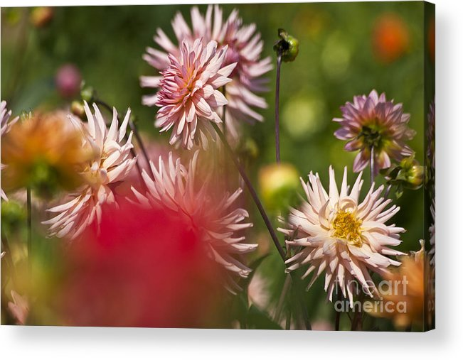 Heiko Acrylic Print featuring the photograph Rosy Dahlias by Heiko Koehrer-Wagner