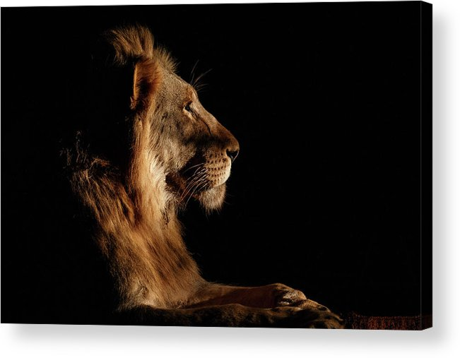 Lion Acrylic Print featuring the photograph Royal Meeting In The Night by Andreas Hemb