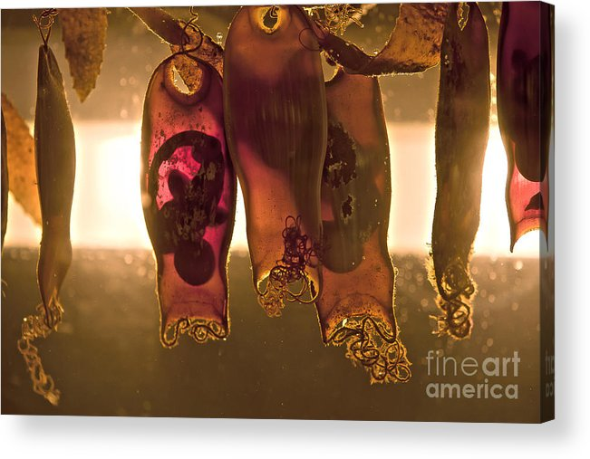 Sea Anenome Photographs Acrylic Print featuring the photograph Sea Creature Pictures- Shark Eggs by Artist and Photographer Laura Wrede