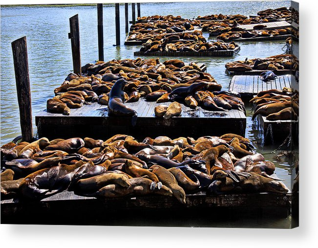 Sea Lions Animal Mammal Sea Life Rest Resting Acrylic Print featuring the photograph Sea Lions At Pier 39 by Garry Gay