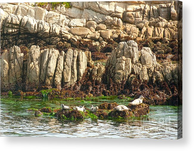 Sea Lions In Monterey Bay Acrylic Print featuring the photograph Sea Lions In Monterey Bay by Artist and Photographer Laura Wrede