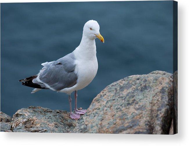 Acadia National Park Acrylic Print featuring the photograph Seagull by Sebastian Musial