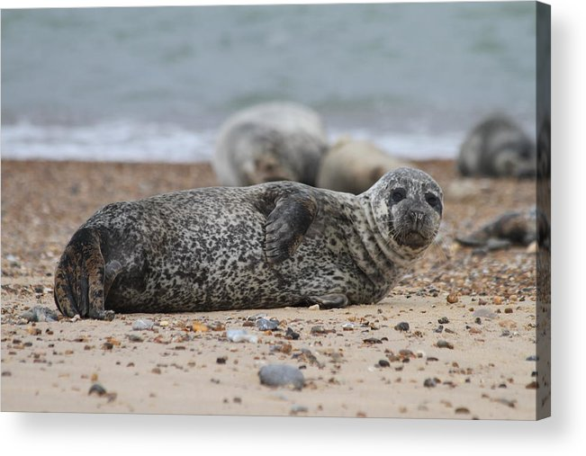 Seal Acrylic Print featuring the photograph Seal Pup On Beach by Gordon Auld