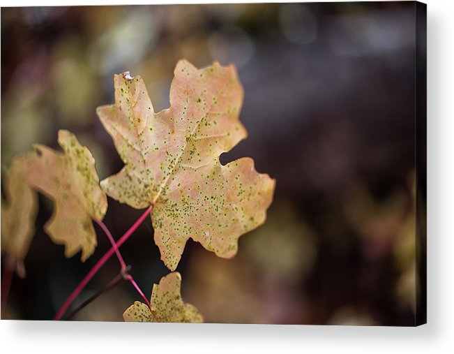Autumn Acrylic Print featuring the photograph Sedona Leaf 19 by Marianne Donahoe