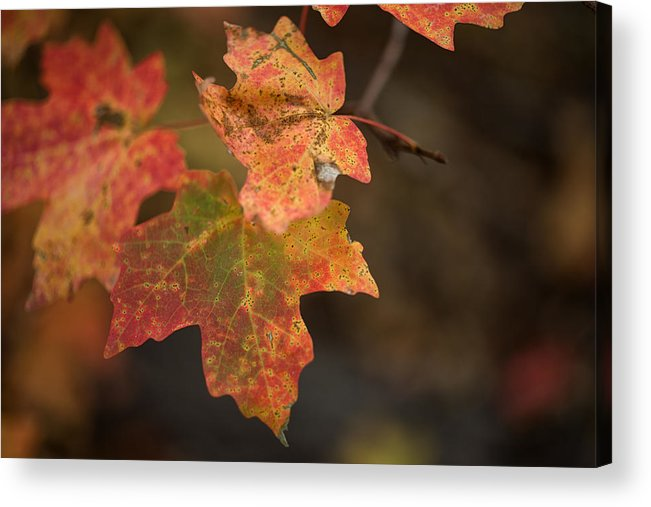 Autumn Acrylic Print featuring the photograph Sedona Leaf 25 by Marianne Donahoe