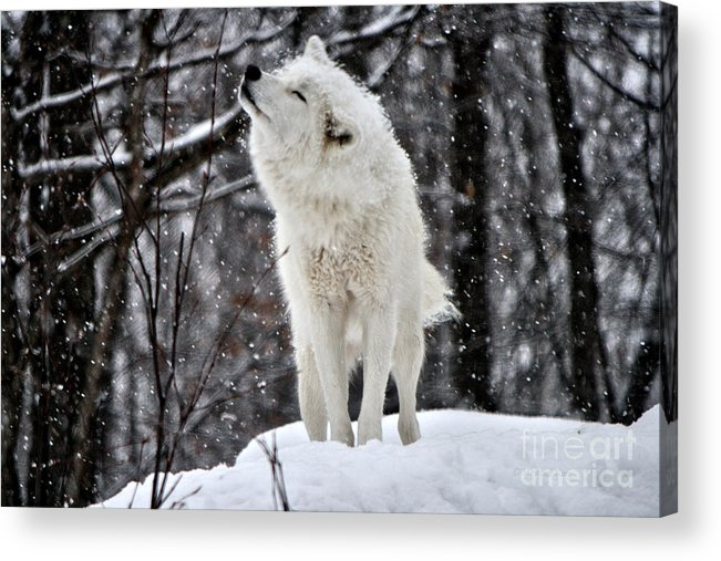 Cub Acrylic Print featuring the photograph Shake It by Heather King