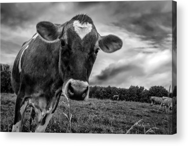 Cows Acrylic Print featuring the photograph She Wears Her Heart For All To See by Bob Orsillo