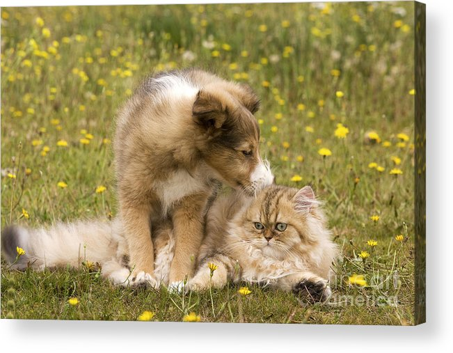 Cat Acrylic Print featuring the photograph Sheltie Puppy And Persian Cat by Jean-Michel Labat