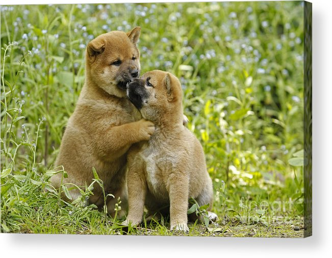 Shiba Inu Acrylic Print featuring the photograph Shiba Inu Puppies by Jean-Michel Labat