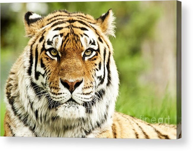 Siberian Acrylic Print featuring the photograph Siberian Tiger Beautiful Closeup by Boon Mee