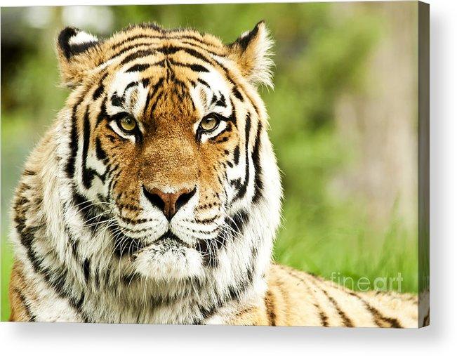 Siberian Acrylic Print featuring the photograph Siberian Tiger Beautiful Closeup by Boon Mee