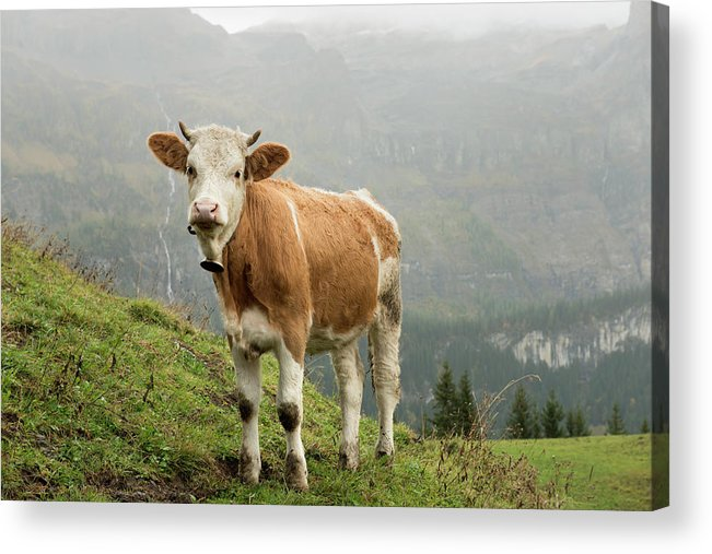 Scenics Acrylic Print featuring the photograph Simmental Cow On Alp In Bernese by Boogich