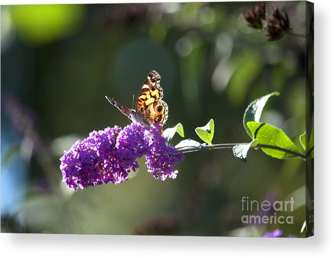 Butterfly Acrylic Print featuring the photograph Sipping On Syrup by Affini Woodley