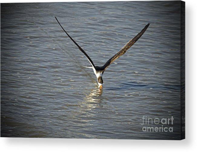 Acrylic Print featuring the photograph Skimmer Fishing by TJ Baccari