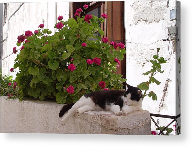 Geranium Cat Greece Hot Day Acrylic Print featuring the photograph Sleeping Cat by Maria Feht