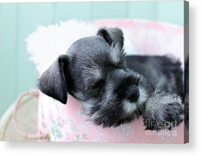 Miniature Acrylic Print featuring the photograph Sleeping Mini Schnauzer by Stephanie Frey