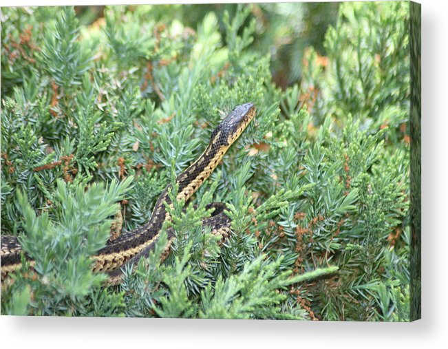 Acrylic Print featuring the photograph Snake In The Bush by Paul SEQUENCE Ferguson       sequence dot net