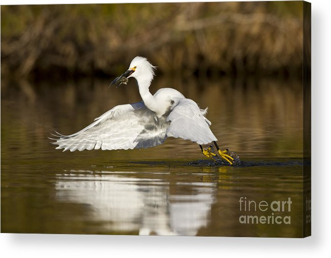 Snowy Egret Acrylic Print featuring the photograph Snowy Egret With Lunch by Bryan Keil