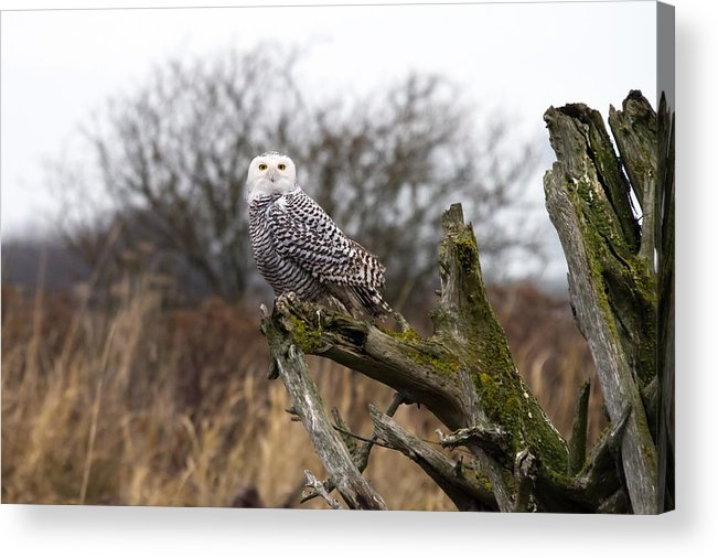 Snowy Owls Acrylic Print featuring the photograph Snowy Owl At Boundary Bay by Pierre Leclerc Photography