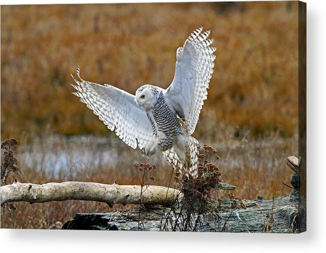 Snowy Owl Acrylic Print featuring the photograph Snowy Owl Landing by Shari Sommerfeld