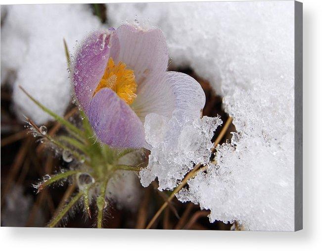 Dakota Acrylic Print featuring the photograph Snowy Pasqueflower by Dakota Light Photography By Dakota