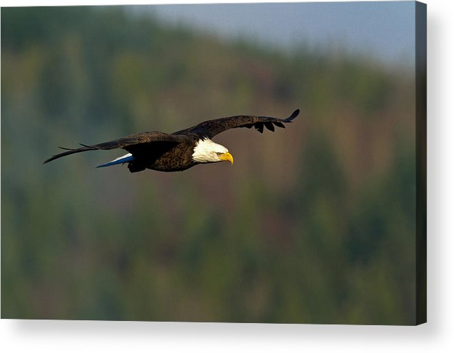 Bald Eagle Acrylic Print featuring the photograph Soaring Above by Shari Sommerfeld