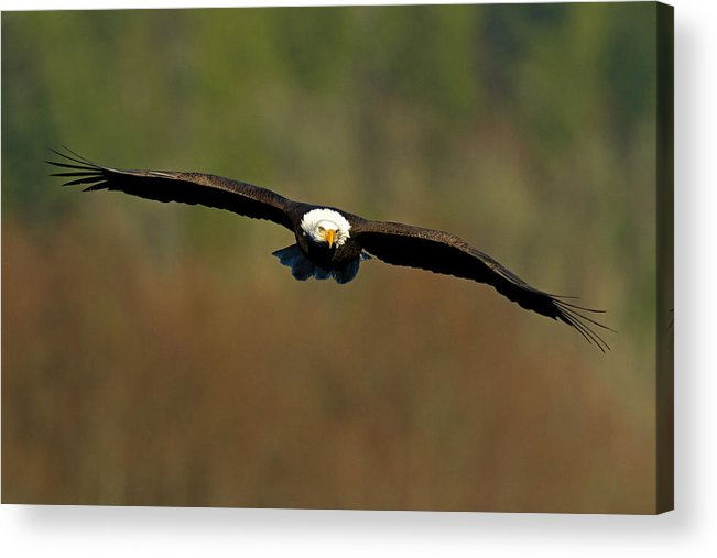 Bald Eagle Acrylic Print featuring the photograph Soaring High by Shari Sommerfeld
