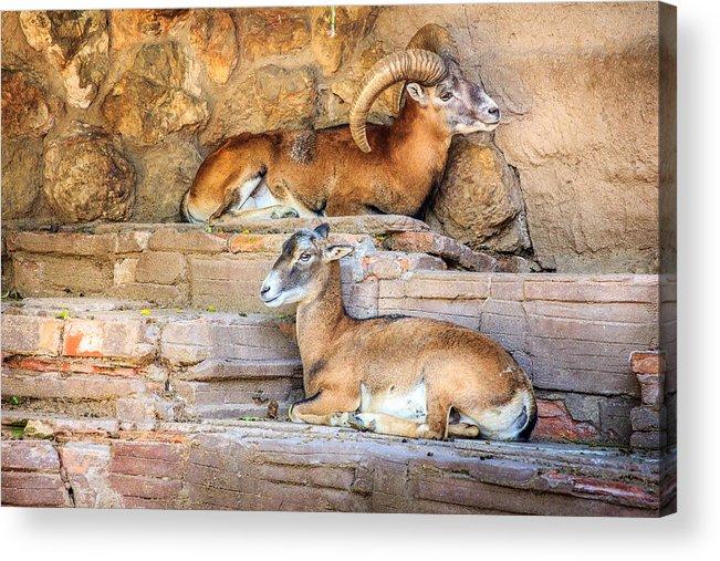 Spanish Ibex Acrylic Print featuring the photograph Spanish Ibex by Pati Photography