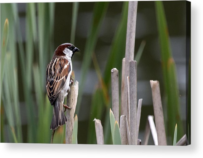 Sparrow Acrylic Print featuring the photograph Sparrow In Reeds by Les OGorman