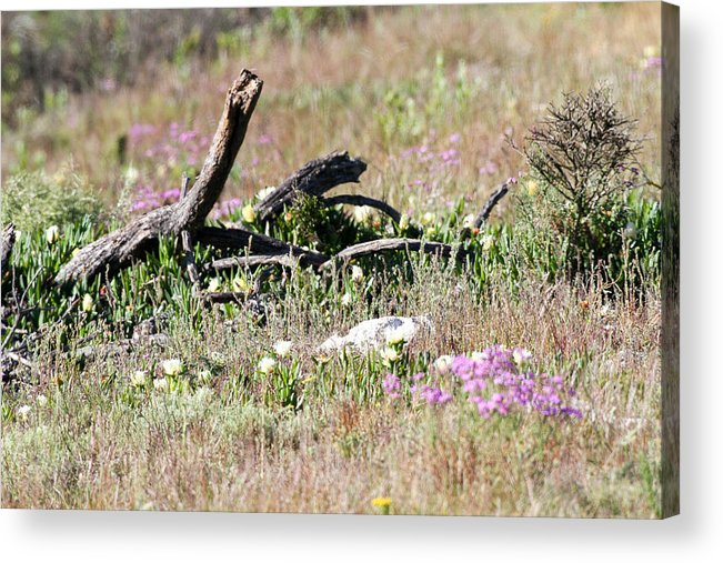 Spring Acrylic Print featuring the photograph Spring In Western South Africa by Dave Whited