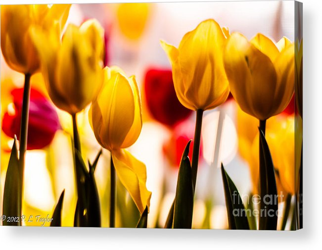 Yellow Tulips Acrylic Print featuring the photograph Spring Tulips by Pamela Taylor