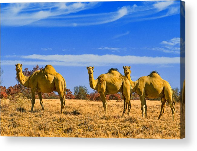 Feral Camels Acrylic Print featuring the photograph Stop And Stare V2 by Douglas Barnard