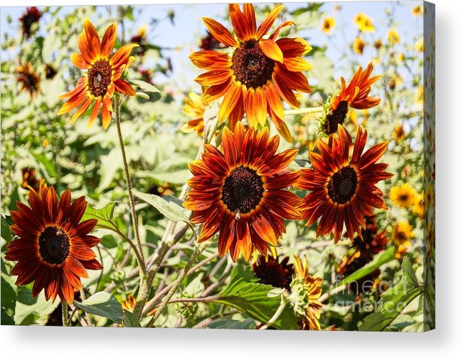 Agriculture Acrylic Print featuring the photograph Sunflower Cluster by Kerri Mortenson