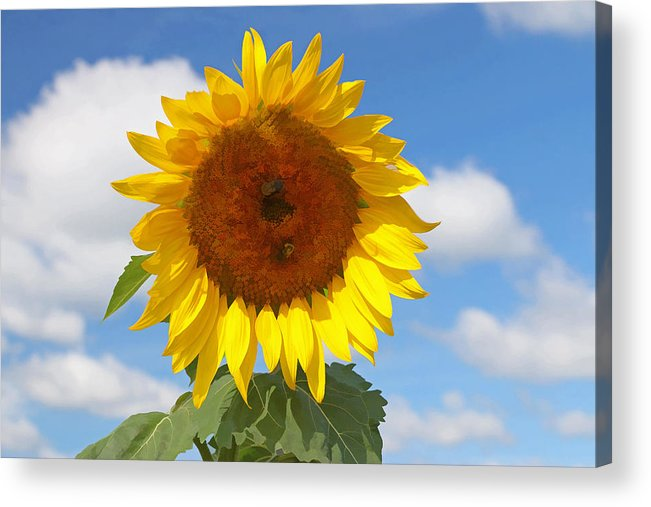 Yellow Acrylic Print featuring the photograph Sunflower Nirvana 30 by Allen Beatty